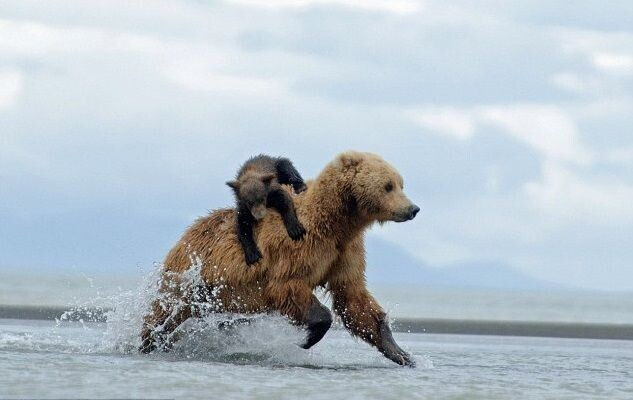How to ride bear-back