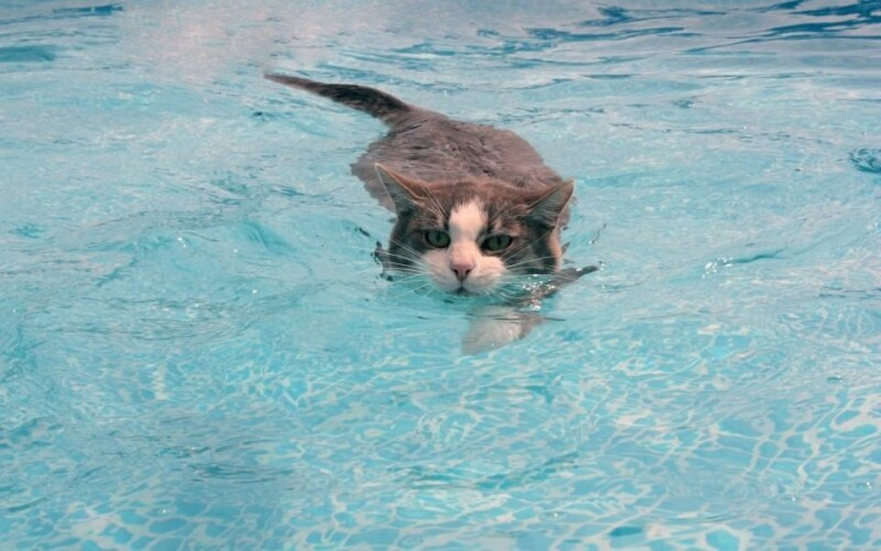 35 Crazy Cats That Actually Love Water