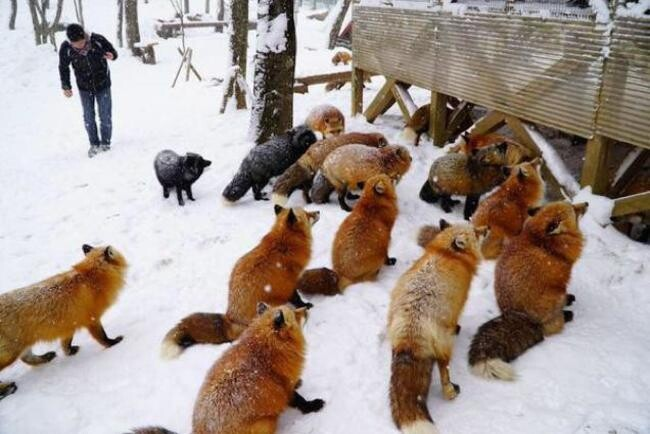 You Can Play With Foxes All Day At This Sanctuary In Japan