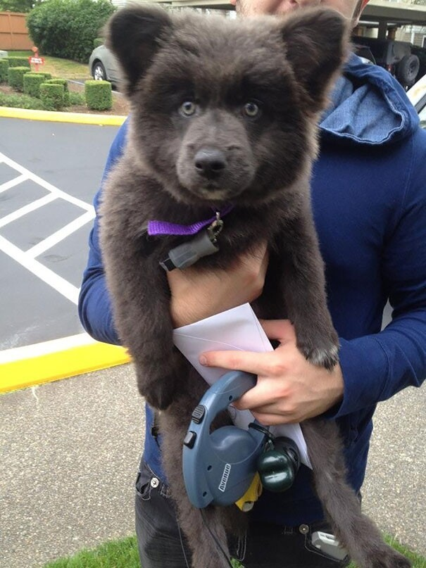 17+ Chubby Puppies That Look Like Teddy Bears