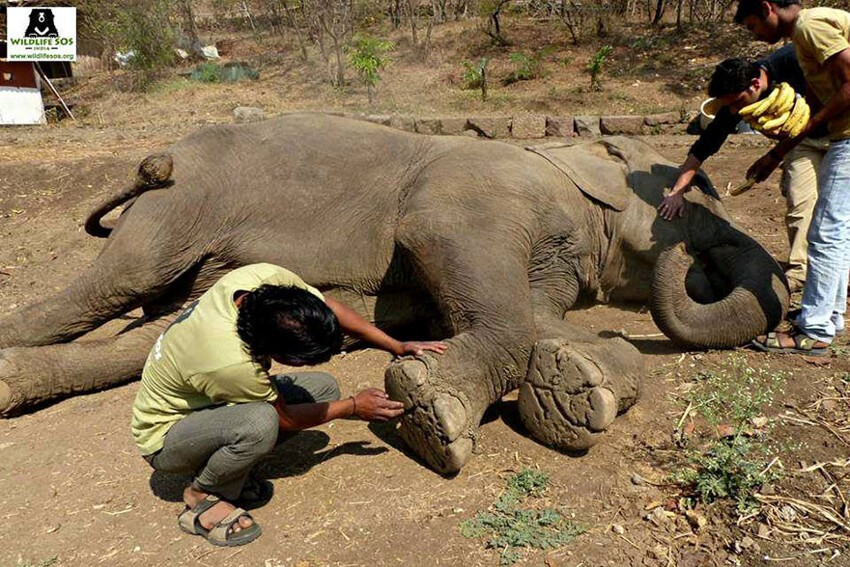 60 Year Old Blind Elephant Beaten By Her Owners Finally Gets Rescued