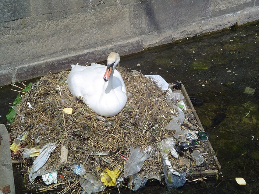 A Mute Swan Builds A Nest Using Plastic Garbage