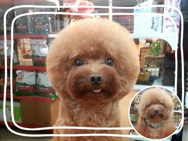 Taiwanese Give Dogs Perfectly Square Or Round Haircuts In Latest Trend