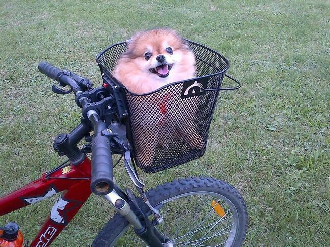 This pleased pomeranian going for the season's first bike ride
