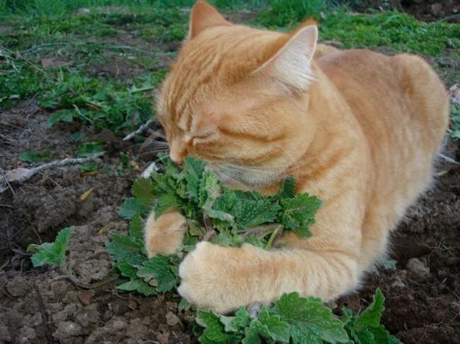 This orange cat with a green thumb enjoying a fresh crop of catnip.
