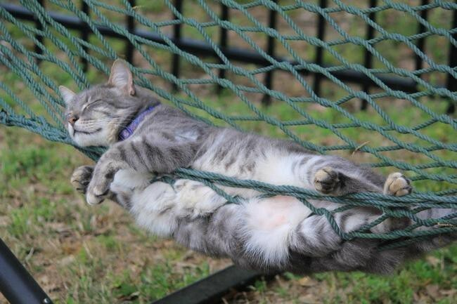 This tired guy enjoying a cat nap in the hammock.