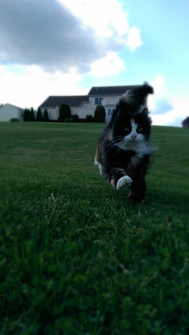 This magnificent cat frolicking through the freshly cut grass.