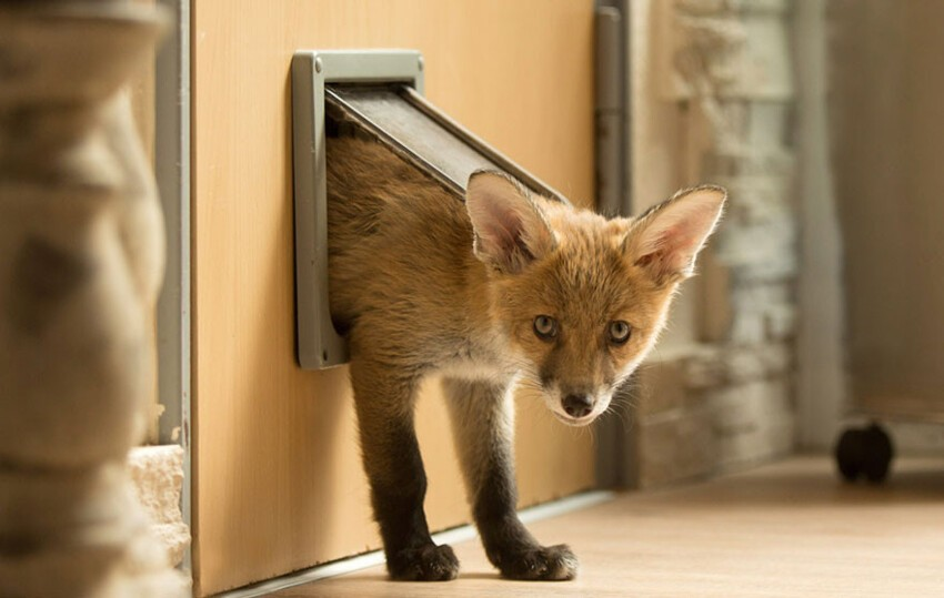 """The fox has gotten used to getting in and out of the house through the cats door,"" said his owner, Werner"