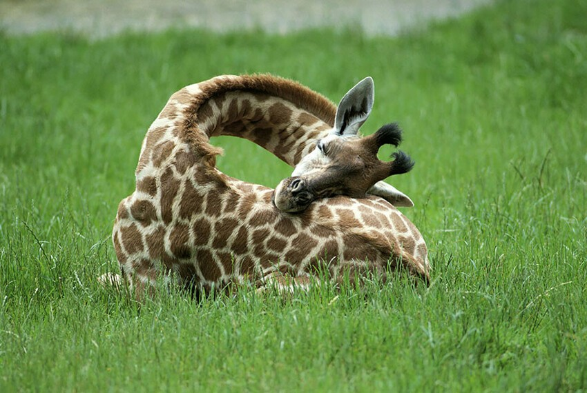This Is How Giraffes Sleep