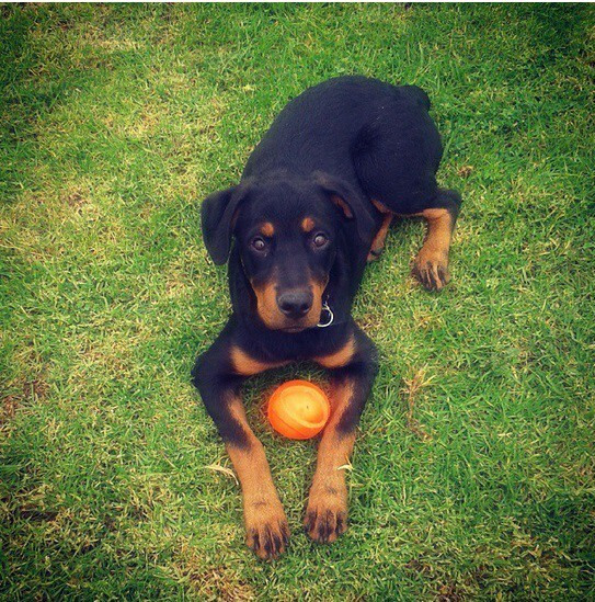 21 Adorable Rottweilers Who Just Want To Play