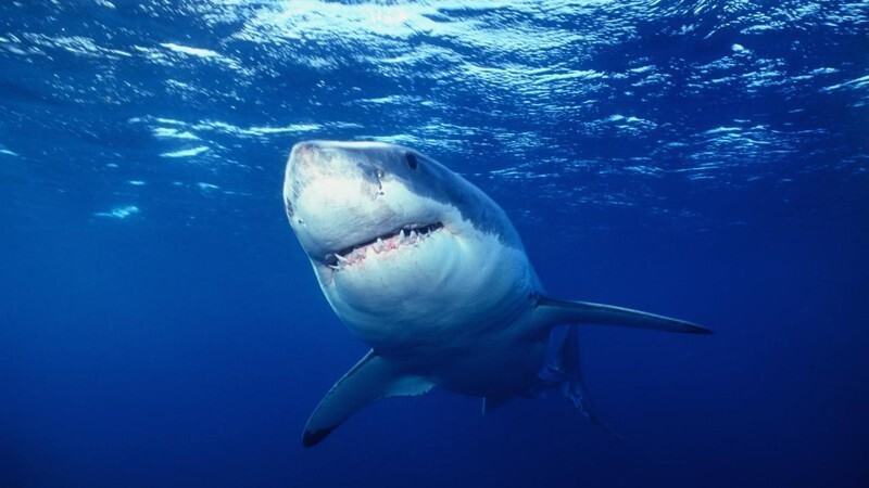 14. Sharks can live to be 100 years old.