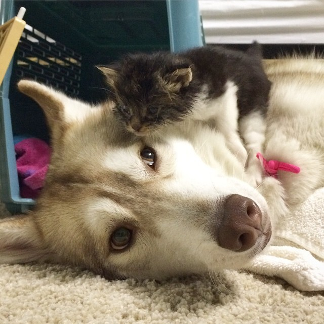 They Thought This Kitten Was Going To Die, But Then She Met A Husky