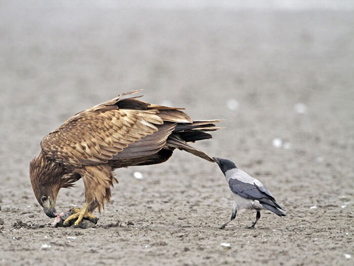 Crows Troll Animals By Pulling Their Tails