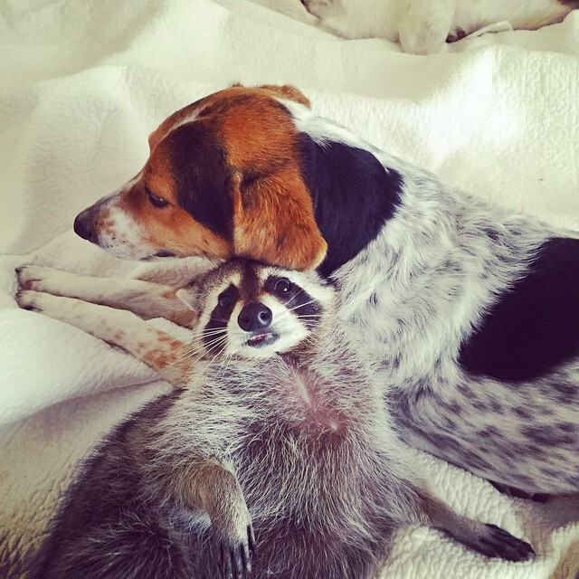 Orphaned Raccoon Rescued By Family With Dogs Thinks She's A Dog