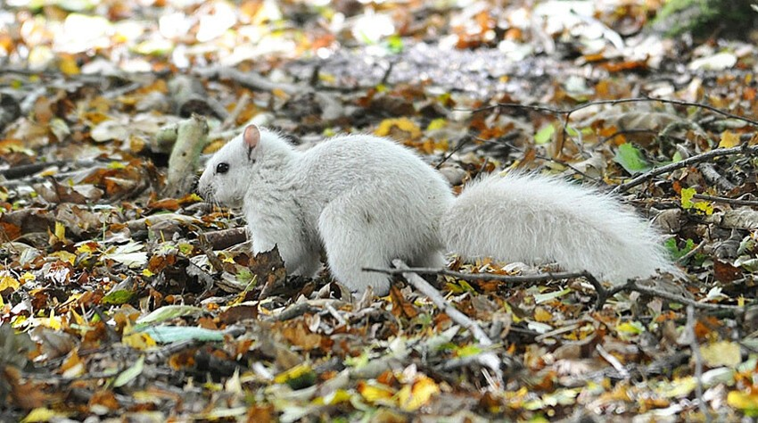 Wildlife photographer Andrew Fulton spotted an all white squirrel in Marbury Country Park, Northwich, UK