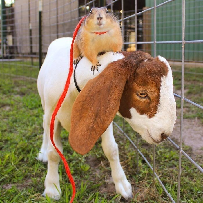 Lil' Sebastian, the goat, is one of their Bffs