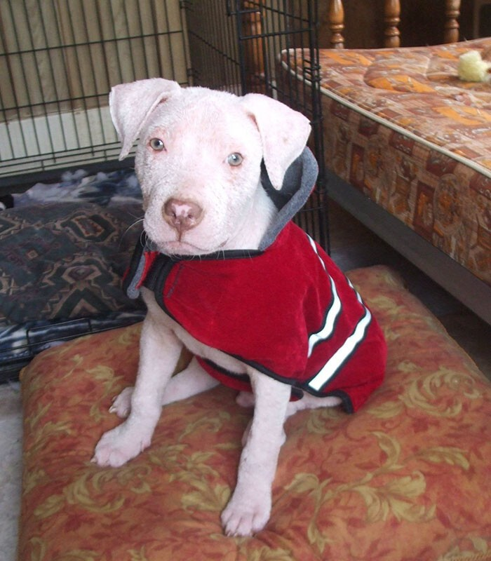 The pittie's fur has never fully returned, however that doesn't hold him back