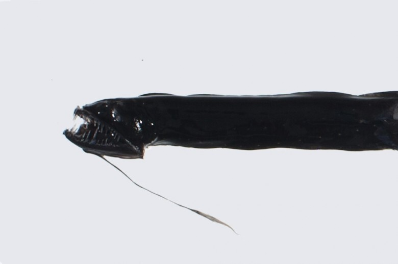 11. Black Dragonfish