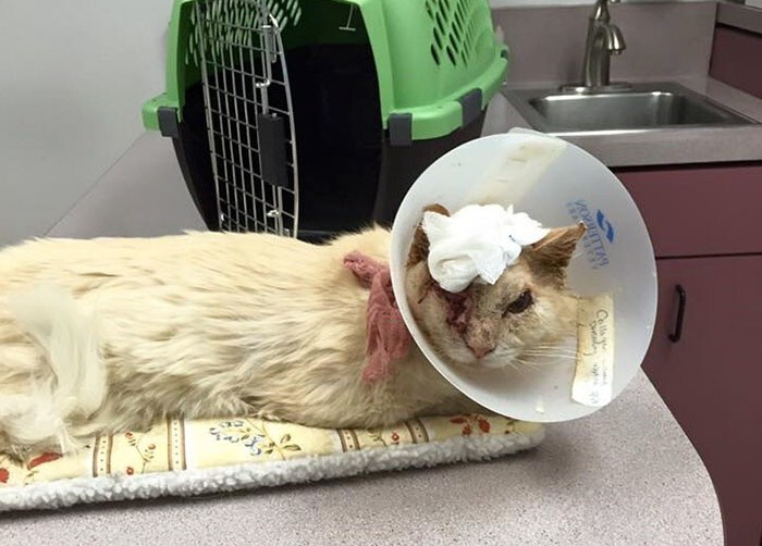 This stray cat 'Sir Thomas Trueheart' just wanted love, but some human poured acid on his head…