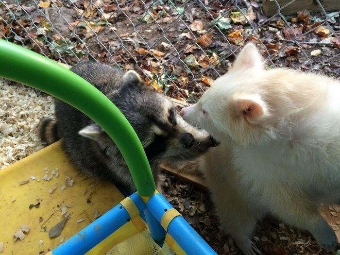 Now the grateful rescue can't stop kissing and cuddling with her new mom and other raccoons