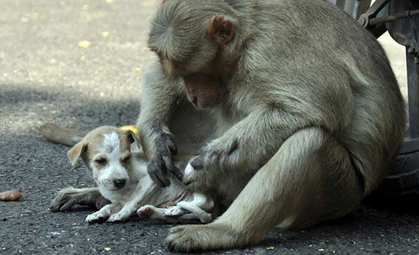 The monkey mom took care of the puppy as if it were her own