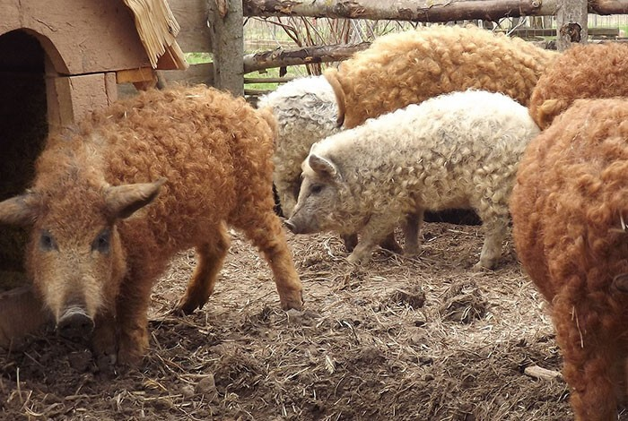 Meet Furry Pigs That Look Like Sheep And Act Like Dogs