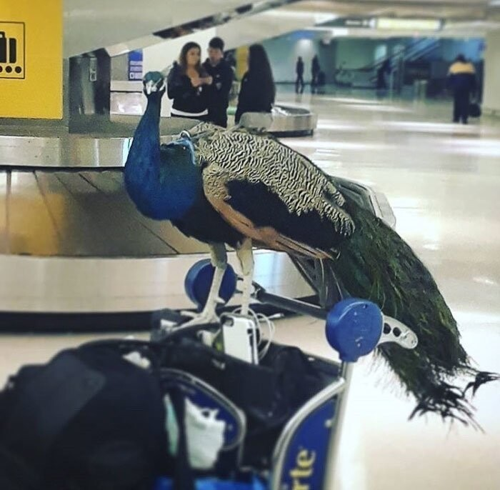 He was denied a seat on the flight, even after his owner, conceptual artist Ventiko, offered to pay for his seat