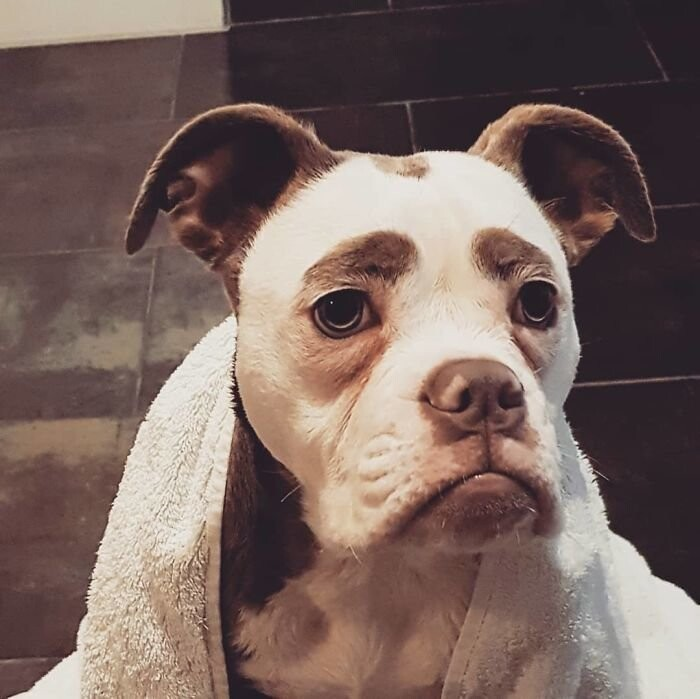 When you look at Madame Eyebrows it seems that this dog feels absolutely no joy in her life