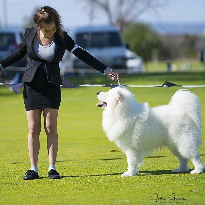 Meet Sarah Hegarty who is a groomer and a proud owner of not one but four beautiful Samoyed dogs