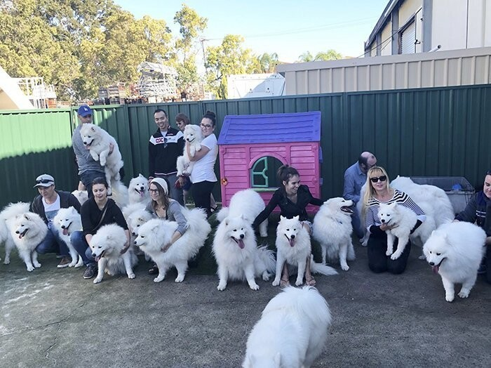 "Sarah is also a creator of the ""Samoyeds of Perth"" club and fosters neglected and unwanted Samoyeds"