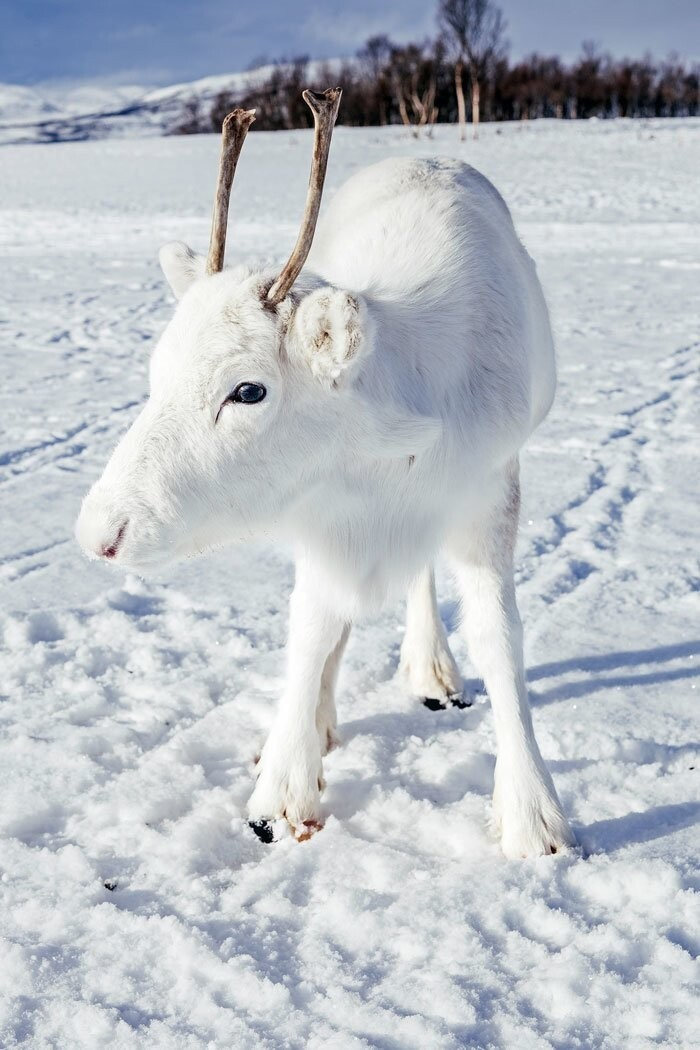 Photographer Captures Extremely Rare White Baby Reindeer While Hiking In Norway