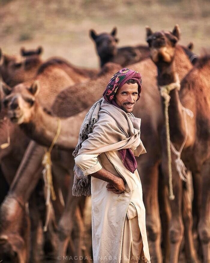 Rajasthani herder amongst his camels at the Pushkar Fair