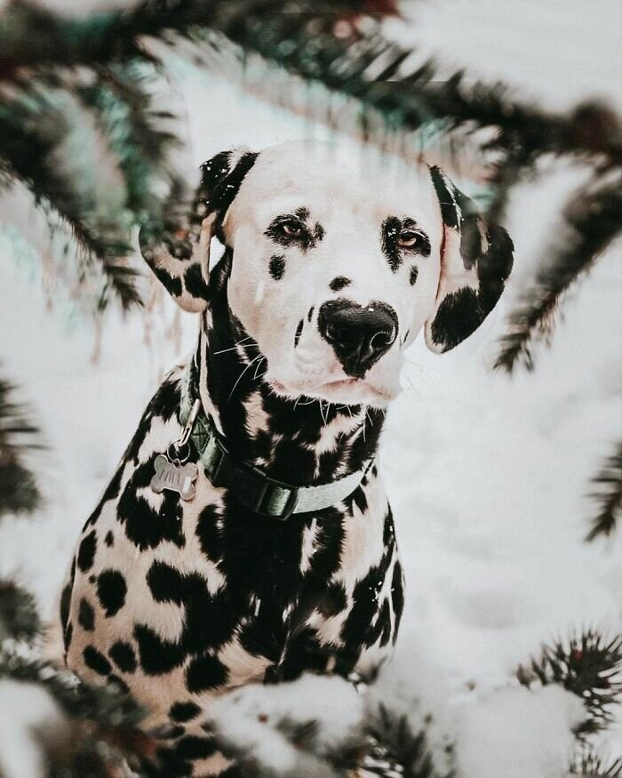 Wiley The Dalmatian Has A Heart On His Nose And People Are In Love