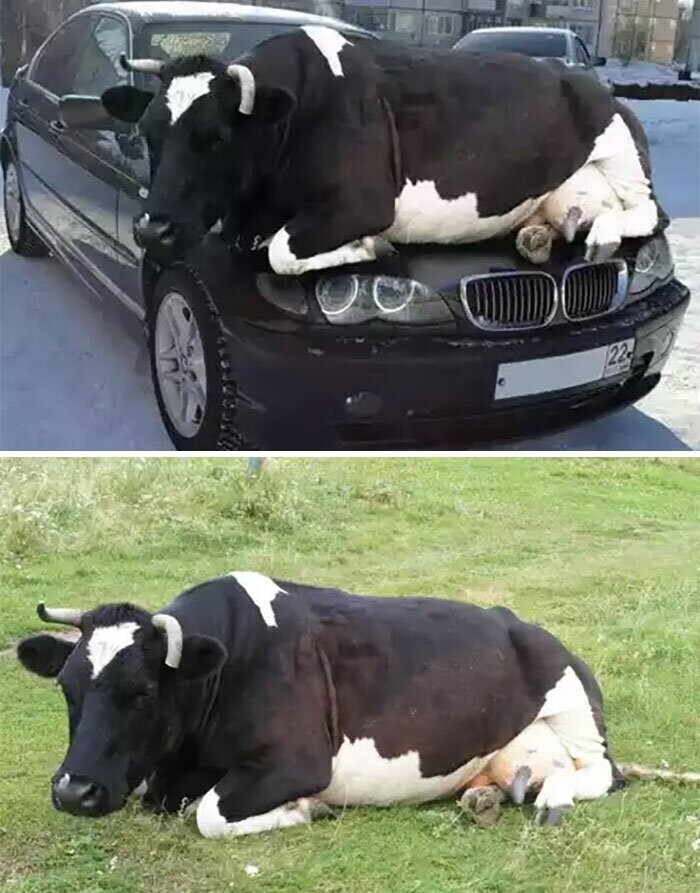 #25 Cow Chilling On A Car