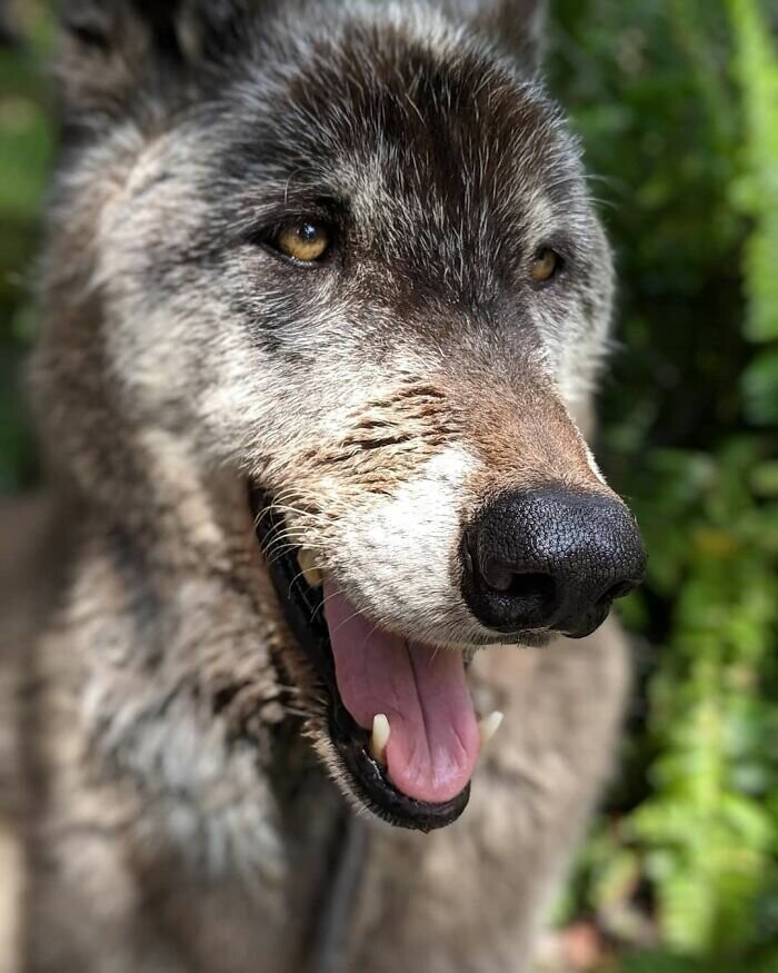Owner Dumped Wolfdog At Kill Shelter When He Got Too Much, Luckily This Sanctuary Saved Hi