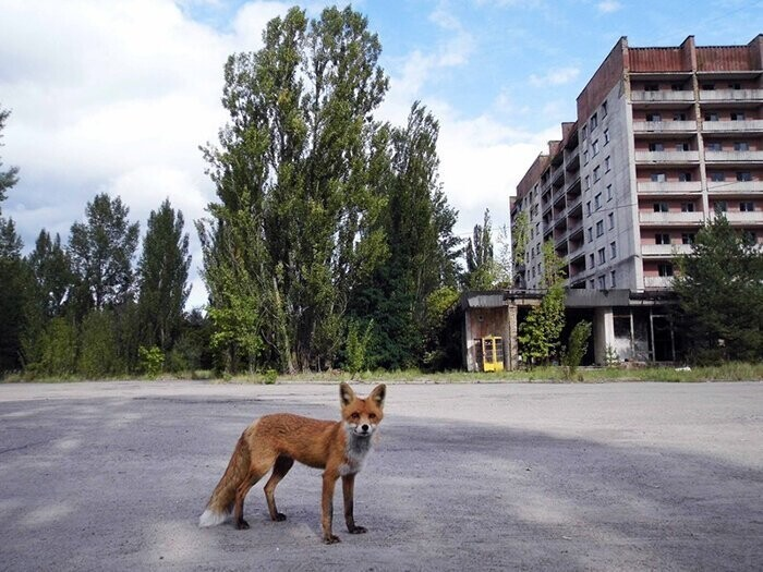 #3 Meet Simon, The Red Fox Of The Radioactive Red Forest