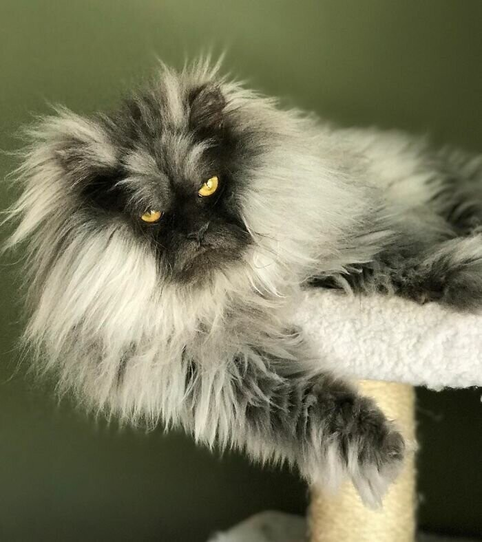 This Cat Has A Good Hair Day Every Day