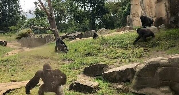 Tourists at a German zoo watched a band of gorillas from the safety of a high observation platform separated by a moat