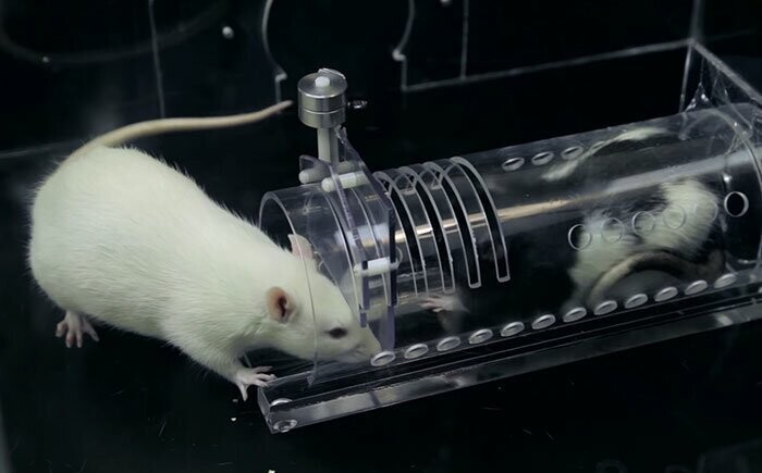 Scientific research reveals that rats are capable of empathy, even with strangers