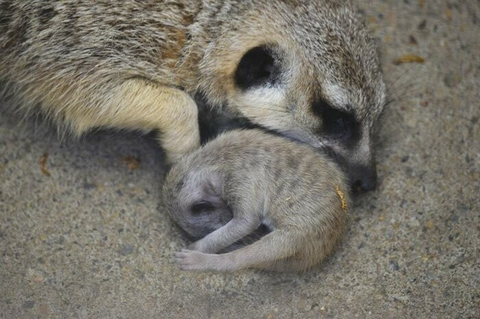 Japanese Photographer Captures A Shy-At-First Baby Meerkat And Its Family In 23 Pics