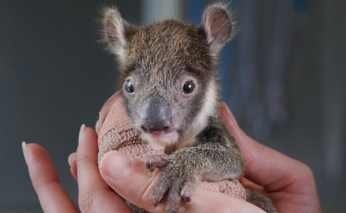 Orphaned 150-Day-Old Baby Koala Gets Tiny Arm Cast After Falling From A Tree