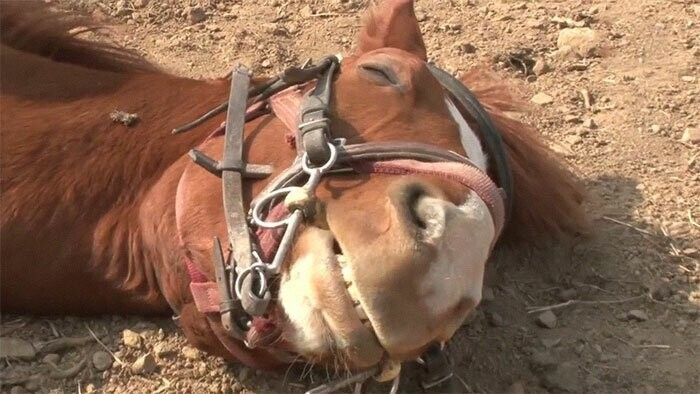 Horse Pretends To Be Dead To Avoid Being Ridden