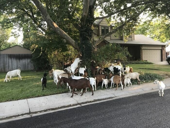 Peaceful Neighborhood In Idaho Gets 'Invaded' By 100 Goats
