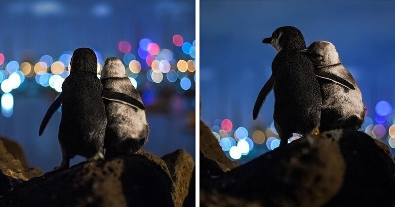 Photographer Captures A Shot Of Two Widowed Penguins Overlooking The Melbourne Skyline Together