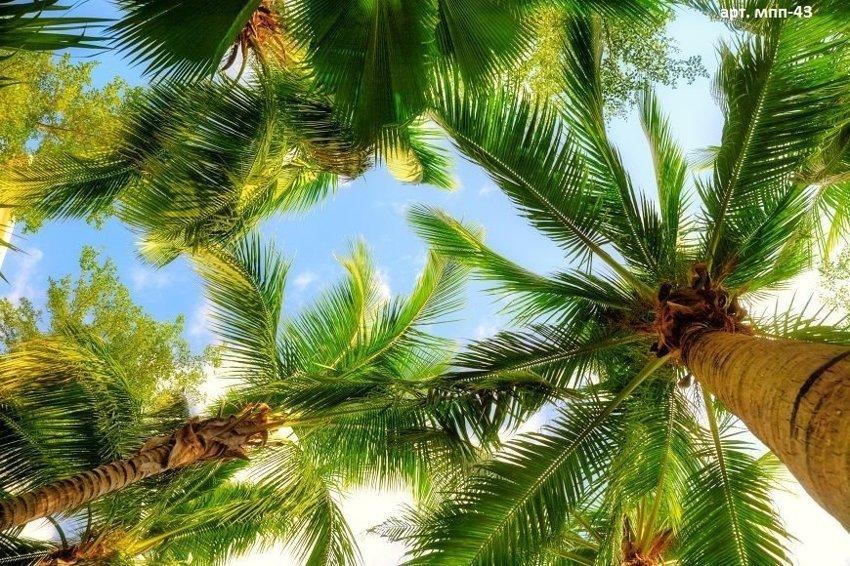 Правда ли, что на побережье Хабаровского края произрастает морозоустойчивый вид пальм?