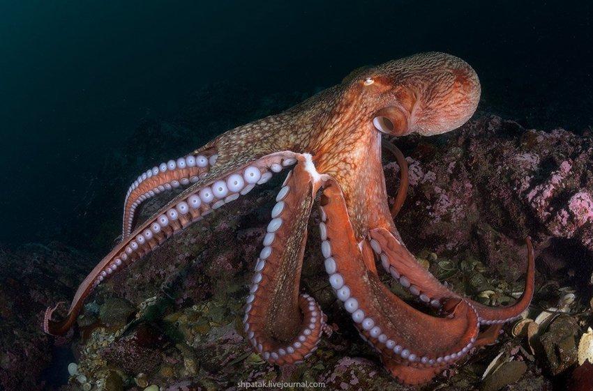Правда ли, что у осьминогов прямоугольные зрачки?