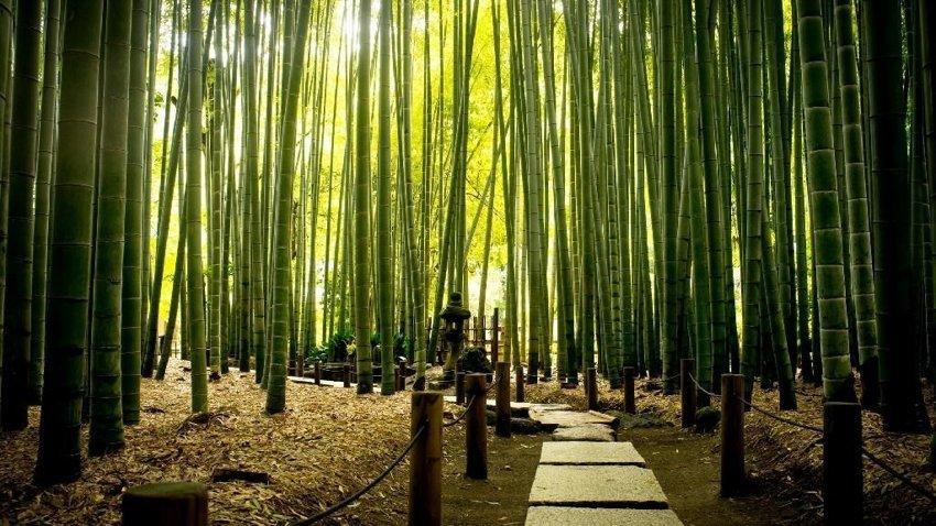 Правда ли, что бамбук цветёт примерно раз в 60 лет?