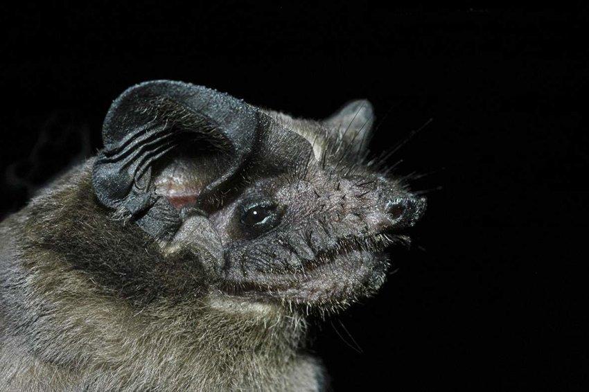 Правда ли, что из-за особого рациона кровь у летучей мыши (бразильского складчатогуба) не красного, а голубого цвета?