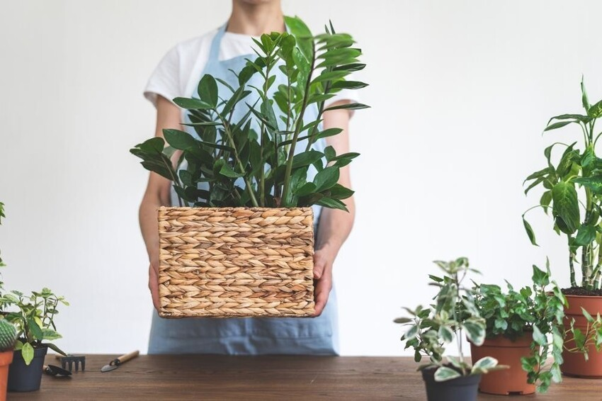 Почему замиокулькас – цветок безбрачия