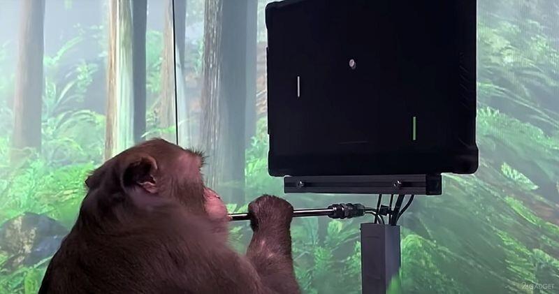 Обезьянка сыграла в Понг, используя «силу мысли» и чип от компании Илона Маска (видео)